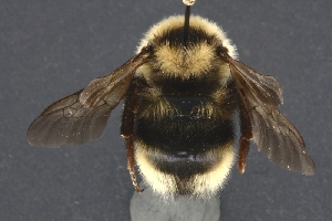 (Bombus insularis - UAM:Ento:172555)  @15 [ ] CreativeCommons - Attribution Non-Commercial No Derivatives (2013) Derek Sikes University of Alaska Museum
