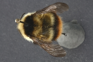(Bombus frigidus - UAM:Ento:173093)  @14 [ ] by-nc-nd - Creative Commons - Attribution Non-Comm No Derivative (2013) Derek Sikes University of Alaska Museum