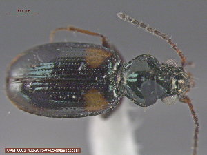 (Bembidion quadrimaculatum - UAM:Ento:85870)  @13 [ ] by-nc-nd - Creative Commons - Attribution Non-Comm No Derivative (2015) Derek Sikes University of Alaska Museum