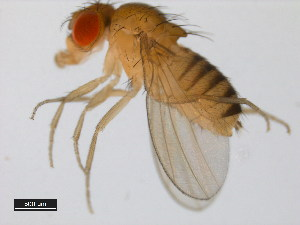 (Drosophila simulans - 14021-0251.187)  @14 [ ] CreativeCommons - Attribution Non-Commercial Share-Alike (2011) BIO Photography Group Biodiversity Institute of Ontario
