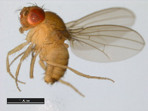 (Drosophila teissieri - 14021-0257.00)  @13 [ ] CreativeCommons - Attribution Non-Commercial Share-Alike (2011) BIO Photography Group Biodiversity Institute of Ontario