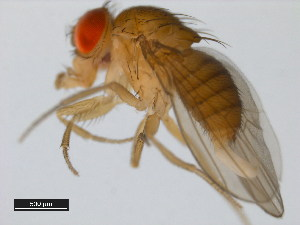 (Drosophila santomea - 14021-0271.00)  @13 [ ] CreativeCommons - Attribution Non-Commercial Share-Alike (2011) BIO Photography Group Biodiversity Institute of Ontario