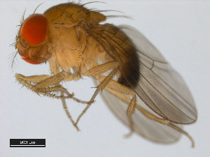 (Drosophila lutescens - 14022-0271.01)  @12 [ ] CreativeCommons - Attribution Non-Commercial Share-Alike (2011) BIO Photography Group Biodiversity Institute of Ontario