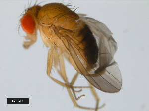 (Drosophila prostipennis - 14022-0291.00)  @11 [ ] CreativeCommons - Attribution Non-Commercial Share-Alike (2011) BIO Photography Group Biodiversity Institute of Ontario