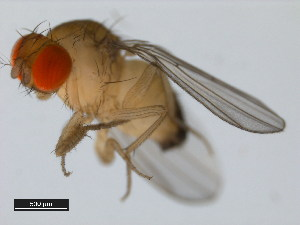 (Drosophila pseudotakahashii - 14022-0301.02)  @13 [ ] CreativeCommons - Attribution Non-Commercial Share-Alike (2011) BIO Photography Group Biodiversity Institute of Ontario
