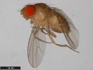 (Drosophila takahashii - 14022-0311.01)  @15 [ ] CreativeCommons - Attribution Non-Commercial Share-Alike (2011) BIO Photography Group Biodiversity Institute of Ontario