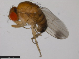 (Drosophila suzukii - 14023-0311.00)  @12 [ ] CreativeCommons - Attribution Non-Commercial Share-Alike (2011) BIO Photography Group Biodiversity Institute of Ontario