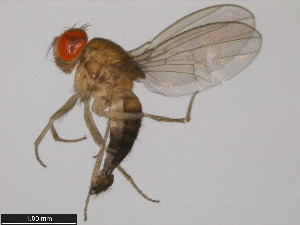 (Drosophila lucipennis - 14023-0331.01)  @13 [ ] CreativeCommons - Attribution Non-Commercial Share-Alike (2011) BIO Photography Group Biodiversity Institute of Ontario