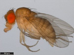 (Drosophila biarmipes - 14023-0361.03)  @14 [ ] CreativeCommons - Attribution Non-Commercial Share-Alike (2011) BIO Photography Group Biodiversity Institute of Ontario