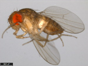 (Drosophila biarmipes - 14023-0361.10)  @14 [ ] CreativeCommons - Attribution Non-Commercial Share-Alike (2011) BIO Photography Group Biodiversity Institute of Ontario