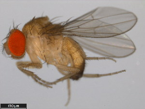 (Drosophila mimetica - 14023-0381.00)  @14 [ ] CreativeCommons - Attribution Non-Commercial Share-Alike (2011) BIO Photography Group Biodiversity Institute of Ontario