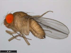(Drosophila subpulchrella - 14023-0401.01)  @14 [ ] CreativeCommons - Attribution Non-Commercial Share-Alike (2011) BIO Photography Group Biodiversity Institute of Ontario