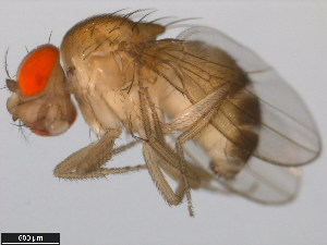 (Drosophila atripex - 14024-0361.02)  @12 [ ] CreativeCommons - Attribution Non-Commercial Share-Alike (2011) BIO Photography Group Biodiversity Institute of Ontario