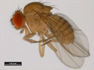 (Drosophila ananassae - 14024-0371.12)  @15 [ ] CreativeCommons - Attribution Non-Commercial Share-Alike (2011) BIO Photography Group Biodiversity Institute of Ontario