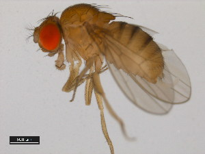 (Drosophila bipectinata - 14024-0381.13)  @13 [ ] CreativeCommons - Attribution Non-Commercial Share-Alike (2011) BIO Photography Group Biodiversity Institute of Ontario