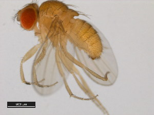 (Drosophila bipectinata - 14024-0381.19)  @13 [ ] CreativeCommons - Attribution Non-Commercial Share-Alike (2011) BIO Photography Group Biodiversity Institute of Ontario