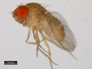 (Drosophila malerkotliana - 14024-0391.09)  @15 [ ] CreativeCommons - Attribution Non-Commercial Share-Alike (2011) BIO Photography Group Biodiversity Institute of Ontario