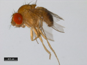 (Drosophila parabipectinata - 14024-0401.14)  @14 [ ] CreativeCommons - Attribution Non-Commercial Share-Alike (2011) BIO Photography Group Biodiversity Institute of Ontario