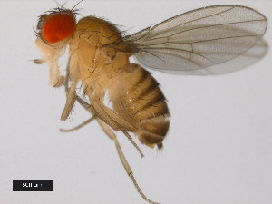 (Drosophila ercepeae - 14024-0432.00)  @15 [ ] CreativeCommons - Attribution Non-Commercial Share-Alike (2011) BIO Photography Group Biodiversity Institute of Ontario