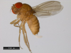 (Drosophila pallidosa - 14024-0433.00)  @14 [ ] CreativeCommons - Attribution Non-Commercial Share-Alike (2011) BIO Photography Group Biodiversity Institute of Ontario