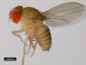 (Drosophila eugracilis - 14026-0451.09)  @15 [ ] CreativeCommons - Attribution Non-Commercial Share-Alike (2011) BIO Photography Group Biodiversity Institute of Ontario