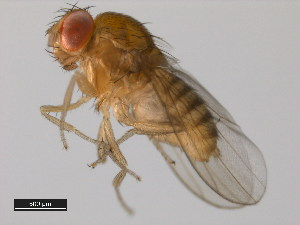 (Drosophila elegans - 14027-0461.03)  @13 [ ] CreativeCommons - Attribution Non-Commercial Share-Alike (2011) BIO Photography Group Biodiversity Institute of Ontario