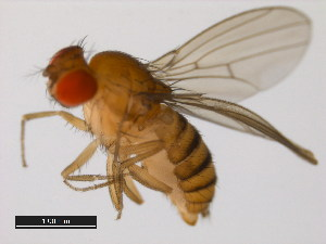 (Drosophila auraria - 14028-0471.01)  @14 [ ] CreativeCommons - Attribution Non-Commercial Share-Alike (2011) BIO Photography Group Biodiversity Institute of Ontario