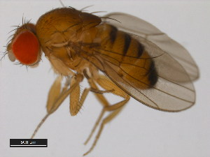 (Drosophila baimaii - 14028-0481.00)  @14 [ ] CreativeCommons - Attribution Non-Commercial Share-Alike (2011) BIO Photography Group Biodiversity Institute of Ontario