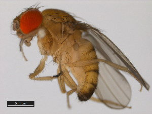 (Drosophila baimaii - 14028-0481.01)  @14 [ ] CreativeCommons - Attribution Non-Commercial Share-Alike (2011) BIO Photography Group Biodiversity Institute of Ontario