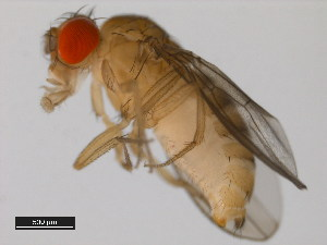 (Drosophila barbarae - 14028-0491.04)  @15 [ ] CreativeCommons - Attribution Non-Commercial Share-Alike (2011) BIO Photography Group Biodiversity Institute of Ontario