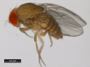 (Drosophila bicornuta - 14028-0511.01)  @14 [ ] CreativeCommons - Attribution Non-Commercial Share-Alike (2011) BIO Photography Group Biodiversity Institute of Ontario