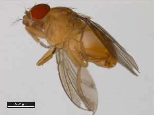 (Drosophila birchii - 14028-0521.01)  @13 [ ] CreativeCommons - Attribution Non-Commercial Share-Alike (2011) BIO Photography Group Biodiversity Institute of Ontario