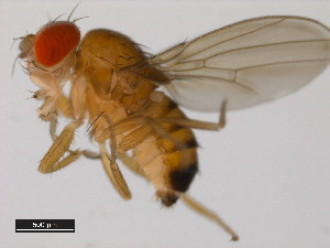 (Drosophila jambulina - 14028-0531.02)  @13 [ ] CreativeCommons - Attribution Non-Commercial Share-Alike (2011) BIO Photography Group Biodiversity Institute of Ontario