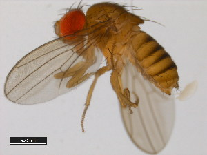 (Drosophila kanapiae - 14028-0541.00)  @14 [ ] CreativeCommons - Attribution Non-Commercial Share-Alike (2011) BIO Photography Group Biodiversity Institute of Ontario