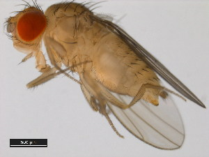 (Drosophila kikkawai - 14028-0561.08)  @15 [ ] CreativeCommons - Attribution Non-Commercial Share-Alike (2011) BIO Photography Group Biodiversity Institute of Ontario