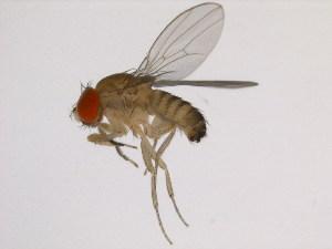(Drosophila lacteicornis - 14028-0571.00)  @11 [ ] CreativeCommons - Attribution Non-Commercial Share-Alike (2011) BIO Photography Group Biodiversity Institute of Ontario