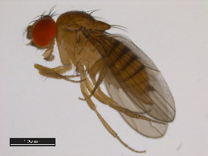(Drosophila diplacantha - 14028-0586.00)  @15 [ ] CreativeCommons - Attribution Non-Commercial Share-Alike (2011) BIO Photography Group Biodiversity Institute of Ontario