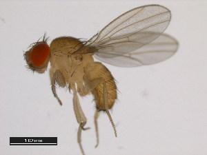(Drosophila mayri - 14028-0591.01)  @13 [ ] CreativeCommons - Attribution Non-Commercial Share-Alike (2011) BIO Photography Group Biodiversity Institute of Ontario