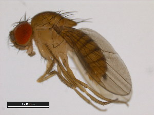 (Drosophila mayri - 14028-0591.00)  @13 [ ] CreativeCommons - Attribution Non-Commercial Share-Alike (2011) BIO Photography Group Biodiversity Institute of Ontario
