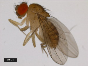 (Drosophila nikananu - 14028-0601.01)  @13 [ ] CreativeCommons - Attribution Non-Commercial Share-Alike (2011) BIO Photography Group Biodiversity Institute of Ontario