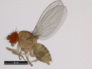 (Drosophila orosa - 14028-0611.01)  @11 [ ] CreativeCommons - Attribution Non-Commercial Share-Alike (2011) BIO Photography Group Biodiversity Institute of Ontario
