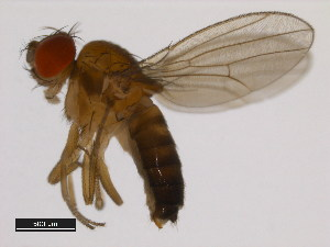 (Drosophila punjabiensis - 14028-0641.00)  @13 [ ] CreativeCommons - Attribution Non-Commercial Share-Alike (2011) BIO Photography Group Biodiversity Institute of Ontario