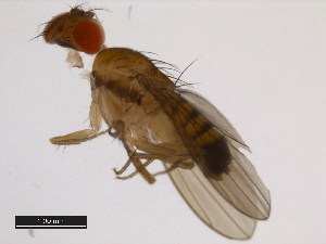 (Drosophila rufa - 14028-0661.02)  @13 [ ] CreativeCommons - Attribution Non-Commercial Share-Alike (2011) BIO Photography Group Biodiversity Institute of Ontario