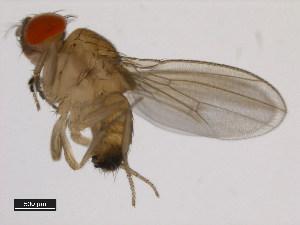 (Drosophila rufa - 14028-0661.03)  @13 [ ] CreativeCommons - Attribution Non-Commercial Share-Alike (2011) BIO Photography Group Biodiversity Institute of Ontario