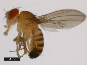 (Drosophila seguyi - 14028-0671.02)  @14 [ ] CreativeCommons - Attribution Non-Commercial Share-Alike (2011) BIO Photography Group Biodiversity Institute of Ontario