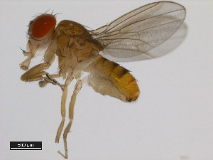 (Drosophila serrata - 14028-0681.04)  @14 [ ] CreativeCommons - Attribution Non-Commercial Share-Alike (2011) BIO Photography Group Biodiversity Institute of Ontario