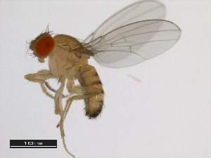 (Drosophila triauraria - 14028-0691.01)  @13 [ ] CreativeCommons - Attribution Non-Commercial Share-Alike (2011) BIO Photography Group Biodiversity Institute of Ontario