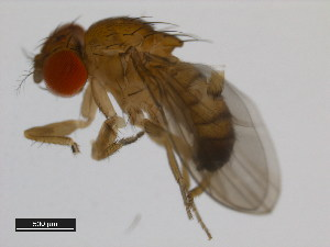 (Drosophila tsacasi - 14028-0701.00)  @14 [ ] CreativeCommons - Attribution Non-Commercial Share-Alike (2011) BIO Photography Group Biodiversity Institute of Ontario
