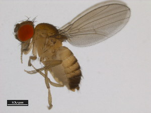 (Drosophila vulcana - 14028-0711.01)  @14 [ ] CreativeCommons - Attribution Non-Commercial Share-Alike (2011) BIO Photography Group Biodiversity Institute of Ontario