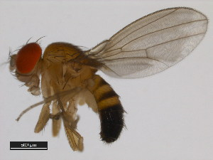(Drosophila nr. barbarae - DSSC-01)  @11 [ ] CreativeCommons - Attribution Non-Commercial Share-Alike (2011) BIO Photography Group Biodiversity Institute of Ontario